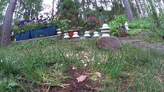 Hedgehog, magpies and squirrel: Animal interaction in slow motion (part II) (talaakso) Tags: slowmotion slowmotionvideo hidastettu hidastettuvideo video hedgehog magpie animalinteraction animalbehaviour educationalvideo opetusvideo creativecommons attribution terolaakso talaakso sonyfdrx1000v sonyactioncamera sony wildlifevideo wildlife backyard takapiha