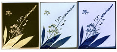 Fireweed (R. Drozda) Tags: fairbanks alaska fireweed lumen papernegative sunprint botanical alternativeprocess drozda
