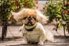 Rocco (Erinn Shirley) Tags: erinnshirley dog pet animals calgary alberta canine maltesepekingmix fujixt2 vintagelens helios44