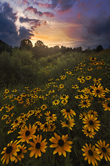 kendall hills sunset with black eyed susans instaIMG_9204 (debbie_dicarlo) Tags: kendallhills cvcp cuyahogavalleynationalpark nationalpark sunset ohio nationalparksunset nature blackeyedsusans flowers