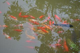 The unmistakable koi pond
