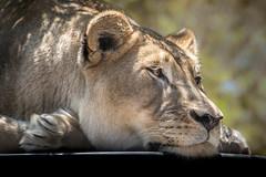 Lion on Her Throne (helenehoffman) Tags: africa etosha conservationstatusvulnerable felidae mammal cat sandiegozoo feline lion bigcat pantheraleo carnivore animal
