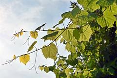 Wild Grapes & Tendrils (☁☂It's Raining, It's Pouring☂☁) Tags: theflickrlounge grapeleaveswild grape leaves prolific vine wk29 patternsinnature plant green