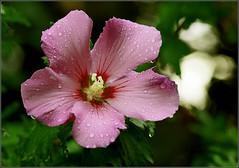 Rose of Sharon - Hibiscus syriacus (Everest Daniel) Tags: hibiscus rain raindrops pink rose sharon summer