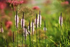 Sommerwiese (inge_rd) Tags: wiese sommer blumenwiese meadow field light