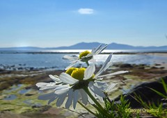 Daisy Sunshine and Arran (g crawford) Tags: crawford ayrshire northarranclydedaisyflowerseamillnorth ayrshireseamill beach