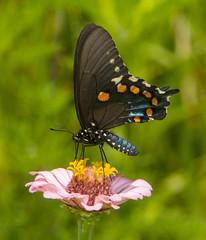Pipevine Swallowtail (Battus philenor) (AllHarts) Tags: pipevineswallowtailbattusphilenor shelbyfarmsparkpublicgardens memphistn naturesspirit thesunshinegroup sunrays5 nature naturescarousel ngc