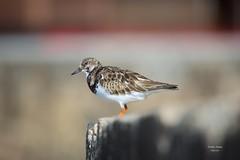 Rola do Mar (Carlos Santos - Alapraia) Tags: roladomar ave bird pássaro ourplanet canon animalplanet nature natureza
