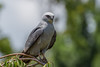 IMG_5741 (DavidMC92) Tags: canon eos 7d tamron sp 70300mm mississippi kite oklahoma city will rogers park bird prey