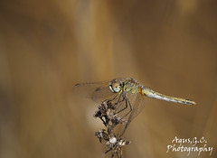 Sympetrum (Agustossa) Tags: insectos naturaleza olympus omdem1 75300