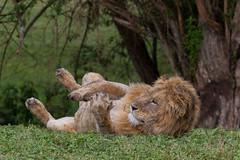 Relaxing on Sunday (Hector16) Tags: africa safari outdoors tanzania wildlife entamanu ngorongorocrater ngorongorohighlands arusharegion tz
