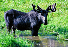 IT'S OKAY TO DROOL ... (Aspenbreeze) Tags: moose bullmoose wildlife wildanimal animal coloradowildlife stream water antlers fur nature rural mountains beverlyzuerlein bevzuerlein aspenbreeze moonandbackphotography