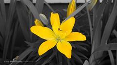 DSC00667 (Aldona Induła) Tags: sony a6000 bezedycji flower garden kwiat notedited ogród prostozaparatu straightfromthecamera