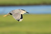 Black Crowned Night Heron in Flight (Mark Schwall) Tags: nycticoraxnycticorax blackcrownednightheron wadingbird rookery heronry bird southernnewjersey nj newjersey nikon d500 nikkor200500f56vrafs markschwallphotographycom wildlife