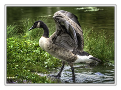 Strutting his stuff (jsleighton) Tags: downing park newburgh ny birds summer pond goose geese wings spread