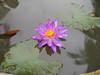 Nymphaea 'Turtle Island Violicious' ISG (HxT) Water Lily Klong15 009 (Klong15 Waterlily) Tags: turtleisland violiciouswaterlily thailandwaterlily isgwaterlily intersubgenericwaterlily purplewaterlily hxtwaterlily nymphaea