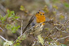 Ola k ase? (Amparo Hervella) Tags: lafuentona soria españa spain pájaro petirrojo naturaleza color d7000 nikon nikond7000 comunidadespañola