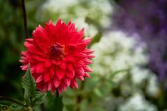 tricolor (Marc R. A.) Tags: blume flower flowercloseup closeup garten batis85 sonyalfa