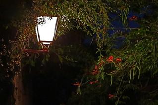Fleurs rouges à la lanterne