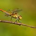 Dragonfly. (Silvio Sola) Tags: dragonfly libellula insetto macro closeup insect campo