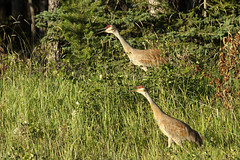 a pair alerts others (useless no more) Tags: nwt scottlough canadanorth arctic subarctic northerncanada