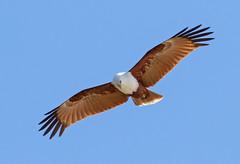 Brahminy Kite (christinaportphotography) Tags: brahminykite haliasturindus kite airliebeach fnq queensland australia bird birds wild free flying blue hunting
