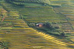 House of Hope (langthangdaydo) Tags: terraced terraces field fields house yellow green color colorful summer travel living rice ricefield photo season paddy explorer adventure trip vietnam asia nice grass bush landscape outdoor village houses nature daily life terrace home farm traveling traveler beautiful tourism mountain wild wildlife tree amazing wilderness mountains mountainside hill