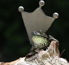 Crowning Ceremony ( Queen) MM (francepar95) Tags: macromondaysqueen frog queen crowning crown hmm