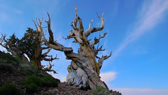 Morning in the Ancient Bristlecone Pine Forest on Discover Trail. (RS2Photography) Tags: nature bristlecone bristleconepines ancientbristleconepine ancientbristleconepinetree tree ancienttree forest sky canon oldtree ancient clouds cloud inyo bigpine inyocounty us395 395 tamron tamron18270mm 18270mm bristleconepine pinuslongaeva balfourianae subalpine greatbasin california whitemountains twisty twisted twistedbranches twistedtree ross treeoftime vaatu