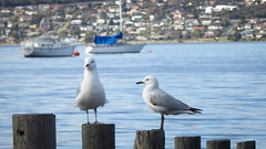 Watch (Theen ...) Tags: bay blue boats city cornelianbay couple hill hobart houses metropolitan posts sea seagulls suburban two watch water yacht