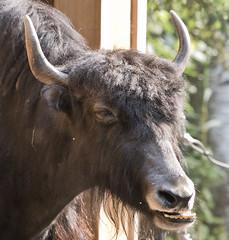 Tibetan Yak - Alaska Anchorage Zoo