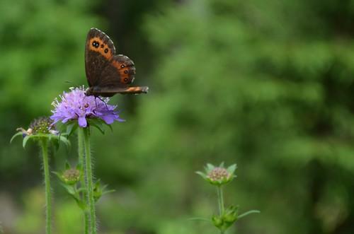 [Nymphalidae] Erebia (Mohrenfalter)