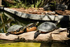 """Tortoise ( 4 Heads and 3 body) (Zahidur Rahman (Thanks for the Favs, comments and ) Tags: water nature lake river contrast pool log bright animal shell outdoors wild slow reptile environment amphibian tortoise """"noperson"""" skidder usa miami closeup shadows light green blue orange wildlife day biscanebay grass stone wood tree tortuga schildpad skildpadde কচ্ছপ कछुआ tortue schildkröte カメ"""