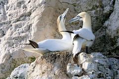 Gannets nesting (robin denton) Tags: rspb bempton cliffs morus bassanusgannetsnestbirdseabirdwildlifenatureyorkshire coast nature yorkshire