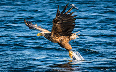 Havørn-0486 (jarud) Tags: 2017 eagle fugl havørn naturopplevelser norge norway smøla whitetailed ørn