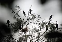 Incubo...pesadilla...pesadelo...nightmare (Valter49) Tags: uccelli birds pajaros aves italia italy valter49 valter