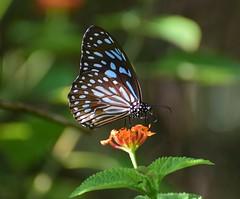 Dark Blue Tiger (sreejithkallethu) Tags: tirumalaseptentrionis darkbluetiger കരിനീലക്കടുവ butterflies butterfliesofkerala polachira kollam kerala