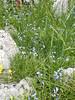 Jacinthe améthyste (L'herbier en photos) Tags: asparagacées asparagaceae liliaceae hyacinthaceae pyrénéesatlantiques nouvelleaquitaine france pyrénées atlantiques nouvelle portalet pourtalet brimeura amethystina jacinthe améthyste jacinto pirenaico hyacinthus chouard laruns béarn ossau aquitaine
