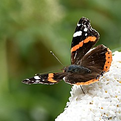 HBBBT Red Admiral (Vanessa Atalanta) (Eleanor (No multiple invites please)) Tags: butterfly redadmiral buddlea canonspark stanmore uk nikon nikond7200 105mmmacrolens july2017