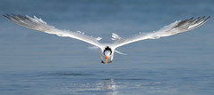 (bmse) Tags: elegant tern bolsa chica fishing symmetry canon 7d2 400mm f56 l bmse salah baazizi wingsinmotion