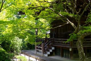 真如堂 - 青もみじ / Shinnyo-do Temple