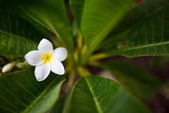 Cali Plumeria (Ryan Leemhuis Photography) Tags: plumeria macro california white tropical floral flora