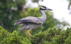 2U7A3387 (rpealit) Tags: scenery widllife nature ocean city rookery yellowcrowned night heron bird