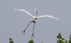 2U7A3454 (rpealit) Tags: scenery widllife nature ocean city rookery great egret bird