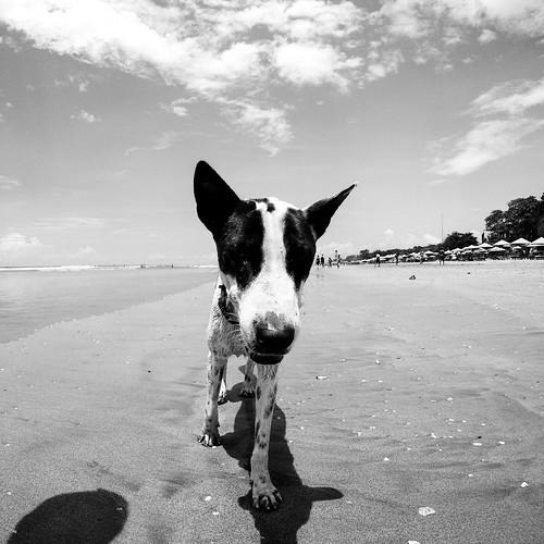 Beach Dog 1 - Seminyak