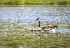 Goose and Goslings (jamiebhannigan) Tags: goose geese gosling goslings wildlife canadagoose canadiangoose canadiangeese babies mothergoose pond water fowl