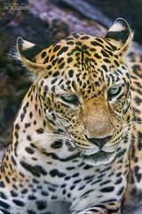 Leopard (pavel conka) Tags: leopard levhart skvrnitý panthera pardus cats eyes natur nature animal animals asia asie vietnam saigon pavel conka travel 2017 canon color