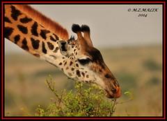 MASAI GIRAFFE (Giraffa camelopardalis tippelskirchii)......NAIROBI NAT. PARK......SEPT 2014 (M Z Malik) Tags: nikon d3x 400mmf28gedvr kenya africa safari wildlife nairobinatpark exoticafricanwildlife ngc npc