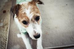 Where are We Going? (moaan) Tags: kobe hyogo japan jp dog jackrussellterrier kinoko portrait dogportrait closeup indoor dof bokeh bokehphotography utata 2017 leicax2