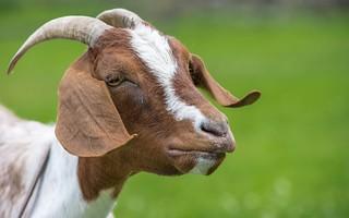 goat (01)